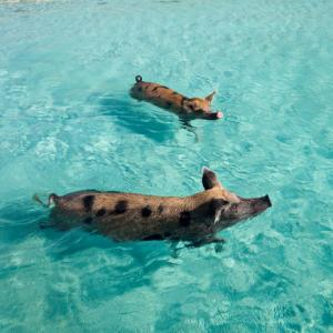 photo of the famous swimming pigs with little piglet baby on beach and three pigs swimming up to boats for people to feed them and give them fresh water to drink