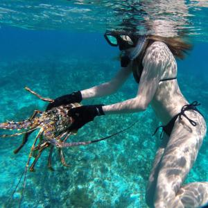 girl in bikini catching lobster bimini bahamas