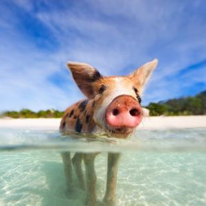 swimming pigs wanting a drink of water or something to eat no name cay abacos exumas staniel cay